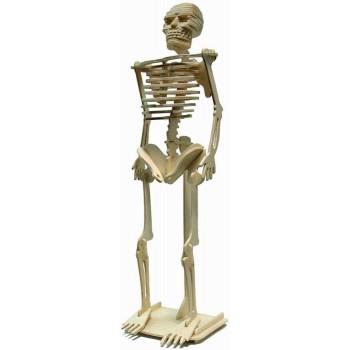 Människans skelett
